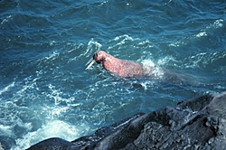 your not going to believe this-walrus-swimming.jpg