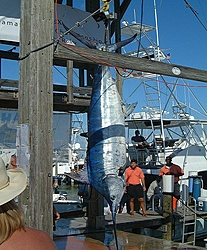 A new addition! 60,000 pounds of airborne fun-canyon-express-606-lbs-blue-marlin.jpg
