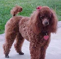 My Name Is Ken And I'm A Poodle-poodle1.jpg