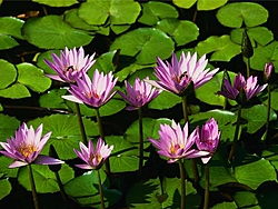 LOTO Photos-water-lilies.jpg