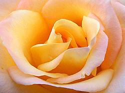 Happy-800px-close_up_yellow_rose.jpg
