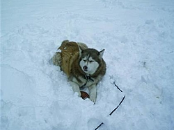 One of my Labs has cancer-snow-dog.jpg