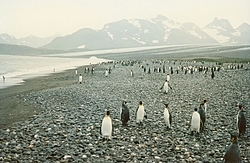 I Found Stecz's People's-pinguins1.jpg
