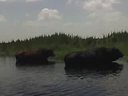 """Boating with the other Florida """"Sea Cow""""....-2-cattle.jpg"""