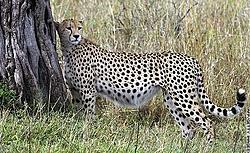 I wonder......-cheetah-cat.jpg