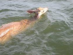 Not something you see boating-deer2.jpg