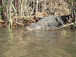 Man, Fl. Alligators are TOUGH!-gator-watching-003.jpg