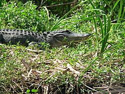 Man, Fl. Alligators are TOUGH!-gator-watching-010.jpg