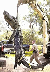Man, Fl. Alligators are TOUGH!-gator-backhoe.jpg