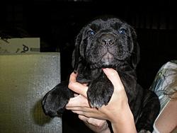 Need a guard dog/boat protector?-6weeks-004.jpg