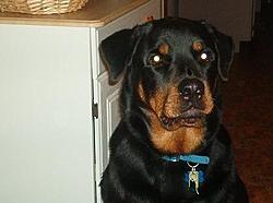 OT - I'm a daddy - Rottweilers-im000167.jpg