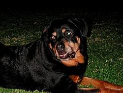 OT - I'm a daddy - Rottweilers-shilah-iii.jpg