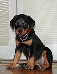 OT - I'm a daddy - Rottweilers-dog-jr.jpg