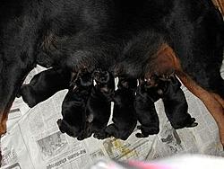 OT - I'm a daddy - Rottweilers-puppies.jpg