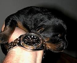 OT - I'm a daddy - Rottweilers-day-4.jpg