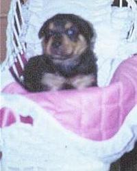 OT - I'm a daddy - Rottweilers-puppy.jpg