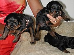 OT - I'm a daddy - Rottweilers-day-eleven-ii.jpg