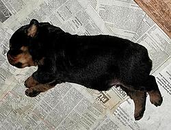 OT - I'm a daddy - Rottweilers-day-sixteen.jpg