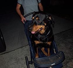 OT - I'm a daddy - Rottweilers-sam2.jpg