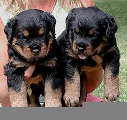 OT - I'm a daddy - Rottweilers-pups-ii.jpg