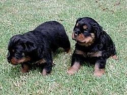 OT - I'm a daddy - Rottweilers-two-pups-ii.jpg