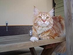 Stupid cat LOL-tiger.jpg
