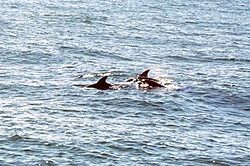 More Orange Beach Pictures-01-dolphins.jpg