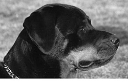 OT - Rottweilers Part II-shera.jpg