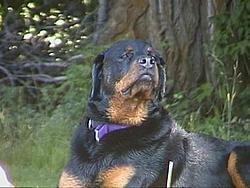 OT - Rottweilers Part II-35.jpg