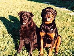 OT - Rottweilers Part II-dogs.jpg