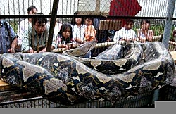 HOLY CRAP!!! 49' and 983#?-2003-12-31t073340z_01_nootr_rtridsp_2_oukoe-indonesia-snake.jpg
