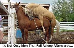 OT: Yes, horses do sleep standing up....-horsesfallasleeptoo.jpg