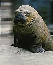 attn female florida OSO members-charge-walrus.jpg