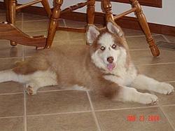 Puppy For sale-kondyke-4-5.jpg