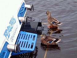 Jacksonville Rocks-duck.jpg